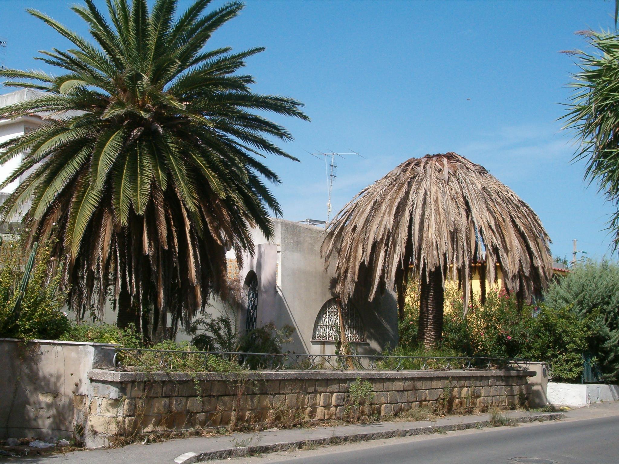Lotta al punteruolo rosso delle palme censimento e piano - Punteruolo rosso in casa ...